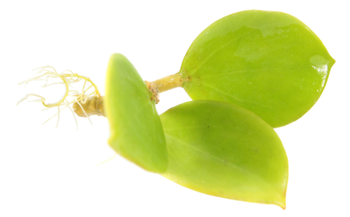 wachsblume-vermehren