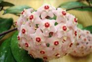 wachsblumen-arten
