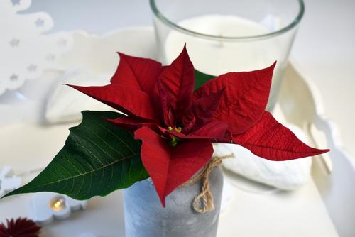 weihnachtsstern-als-schnittblume