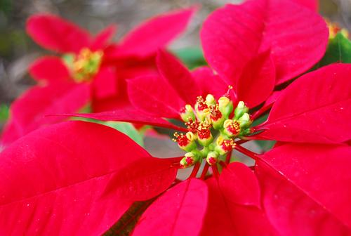 weihnachtsstern-bonsai