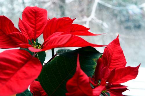 weihnachtsstern-frost
