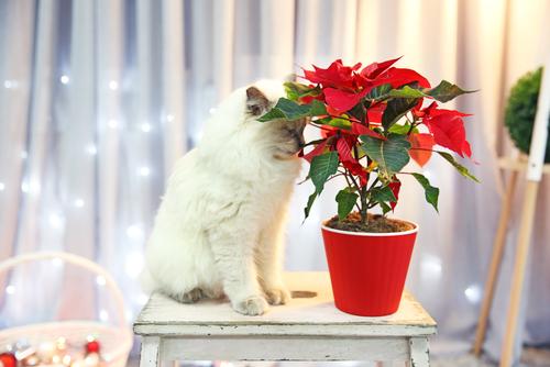 weihnachtsstern-katze