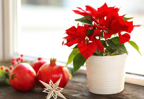 weihnachtsstern-ueberwintern