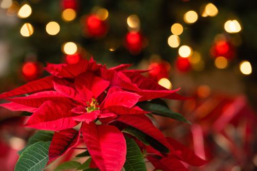 weihnachtsstern-wieder-rot