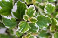 weihrauchpflanze-vermehren