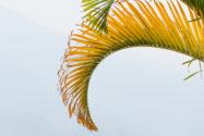 zimmerpalme-braune-blaetter
