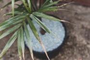 zimmerpalme-braune-spitzen