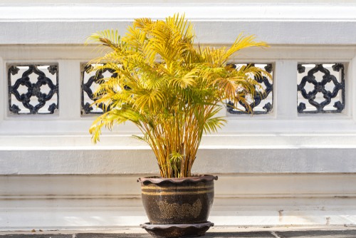 zimmerpalme-gelbe-blaetter