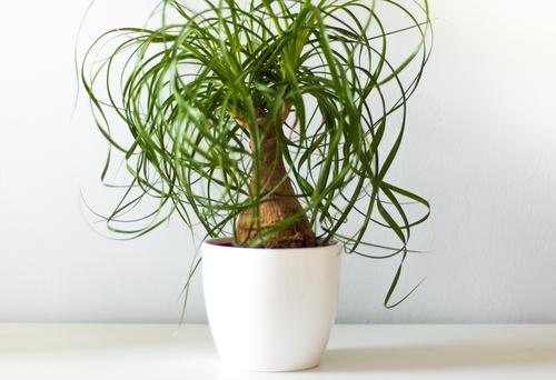 zimmerpalmen-arten