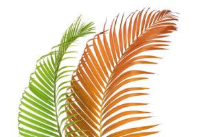 Die Fächerpalme bekommt braune Blätter