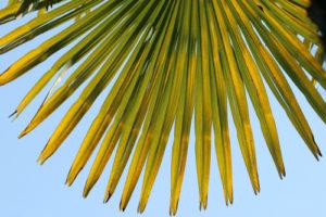 Die Fächerpalme bekommt gelbe Blätter