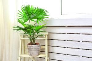 Eine Fächerpalme als Zimmerpflanze