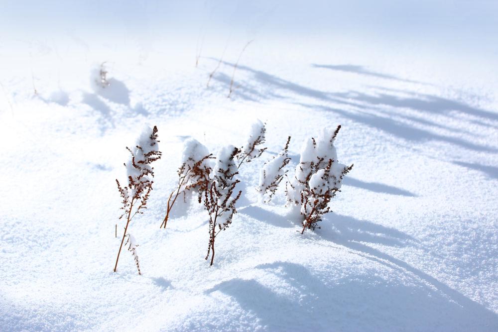 astilben-winterhart