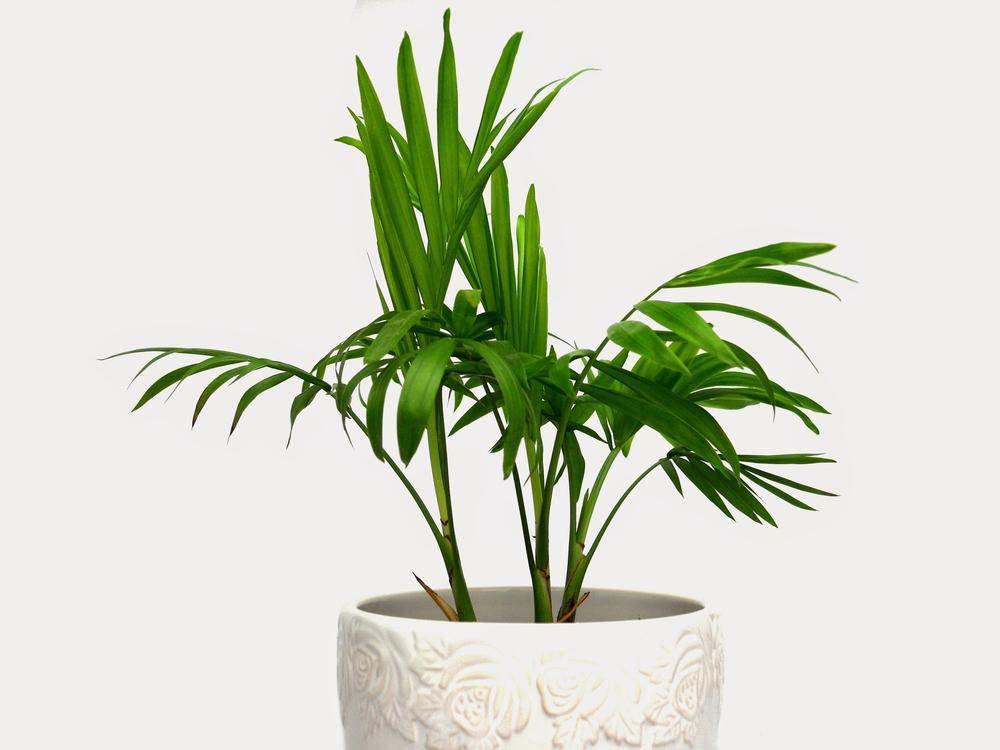 bergpalme-zimmerpflanze