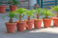dattelpalme-pflanzen