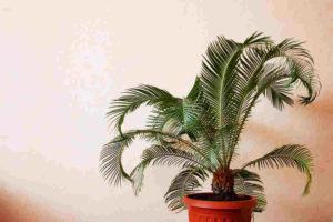 Das Wachstum der Dattelpalme