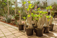 hawaii-palme-vermehren