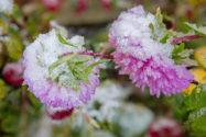 sommeraster-winterhart