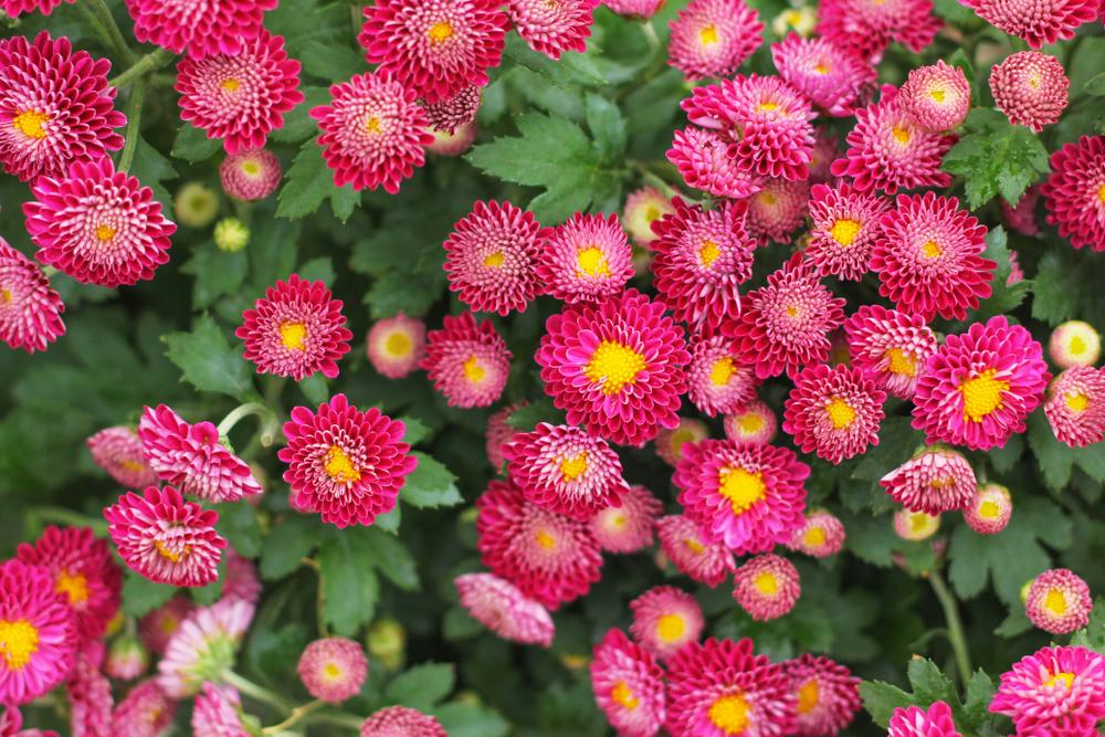 sommerastern-pflanzen