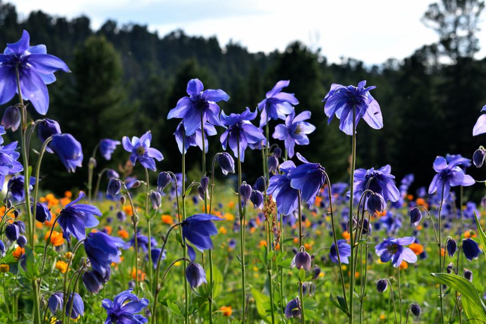 akelei-pflanzen