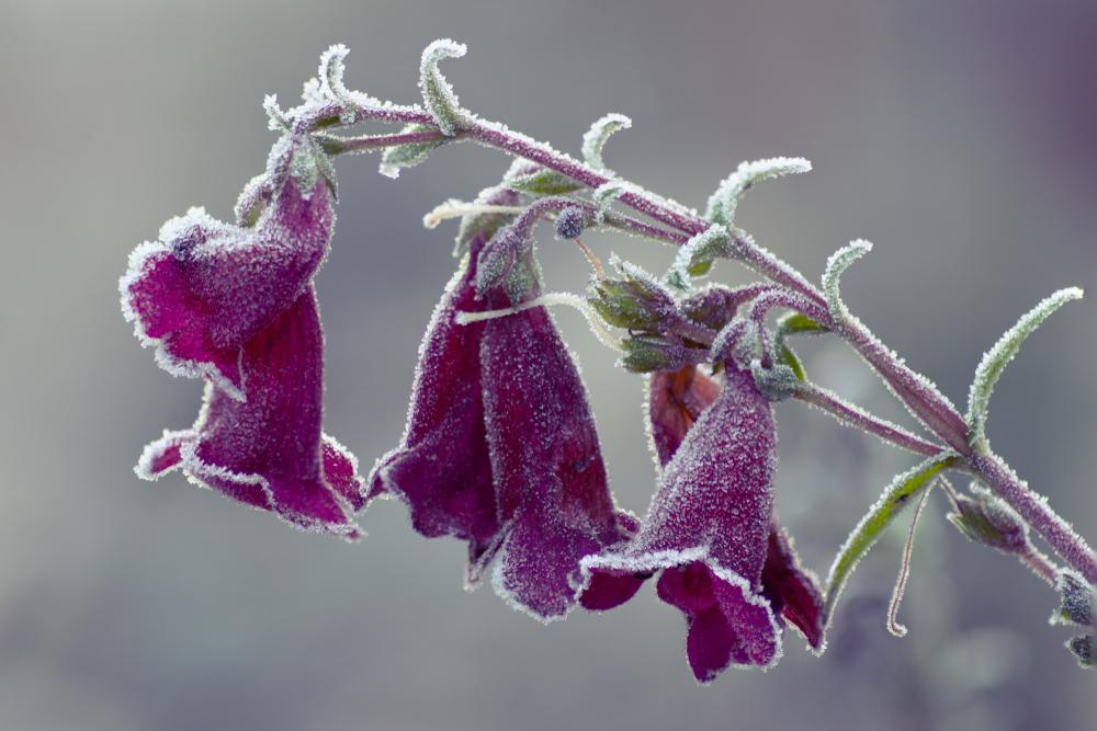 bartfaden-winterhart