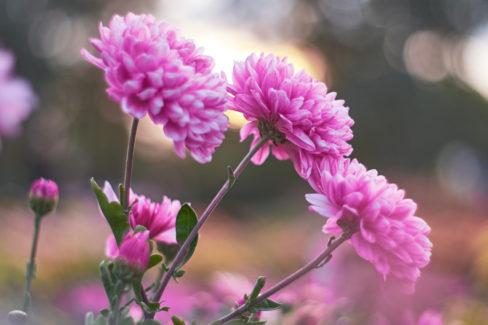 chrysantheme-bluetezeit