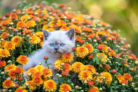 chrysantheme-giftig-fuer-katzen
