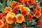 chrysanthemen-schneiden