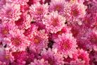 chrysanthemen-winterhart-mehrjaehrig
