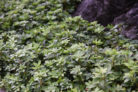 dickmaennchen-vermehrung