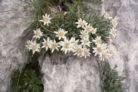 edelweiss-winterhart
