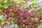 elfenblume-giftig