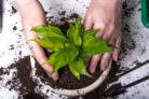 funkien-umpflanzen