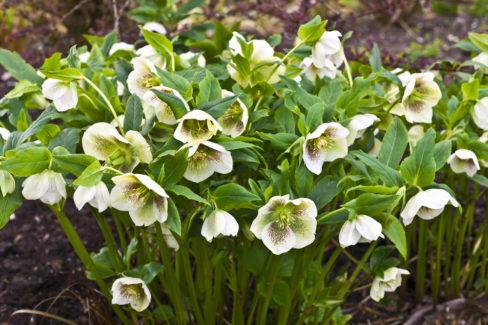 christrose-einpflanzen