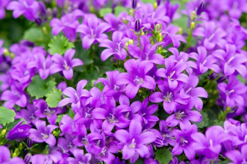 glockenblume-mehrjaehrig