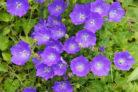 glockenblume-vermehren