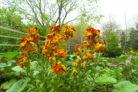 goldlack-pflanzen