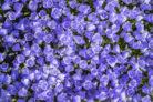 karpaten-glockenblume-winterhart