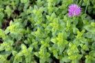oregano-pflanzen