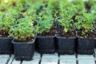 oregano-vermehren