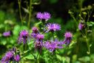 wiesen-flockenblume-essbar