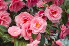 camellia-japonica-bluetezeit