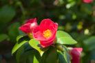 camellia-japonica-standort
