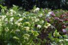 christrose-winterhart
