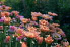 chrysanthemen-pflanzen