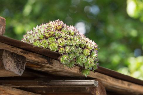 eine-lange-tradition-hauswurz-auf-dachziegel-pflanzen