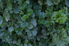 geranien-bluehen-nicht