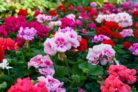 geranien-farben