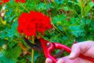 geranien-ueberwintern-zurueckschneiden