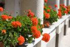 haenge-geranien-einpflanzen